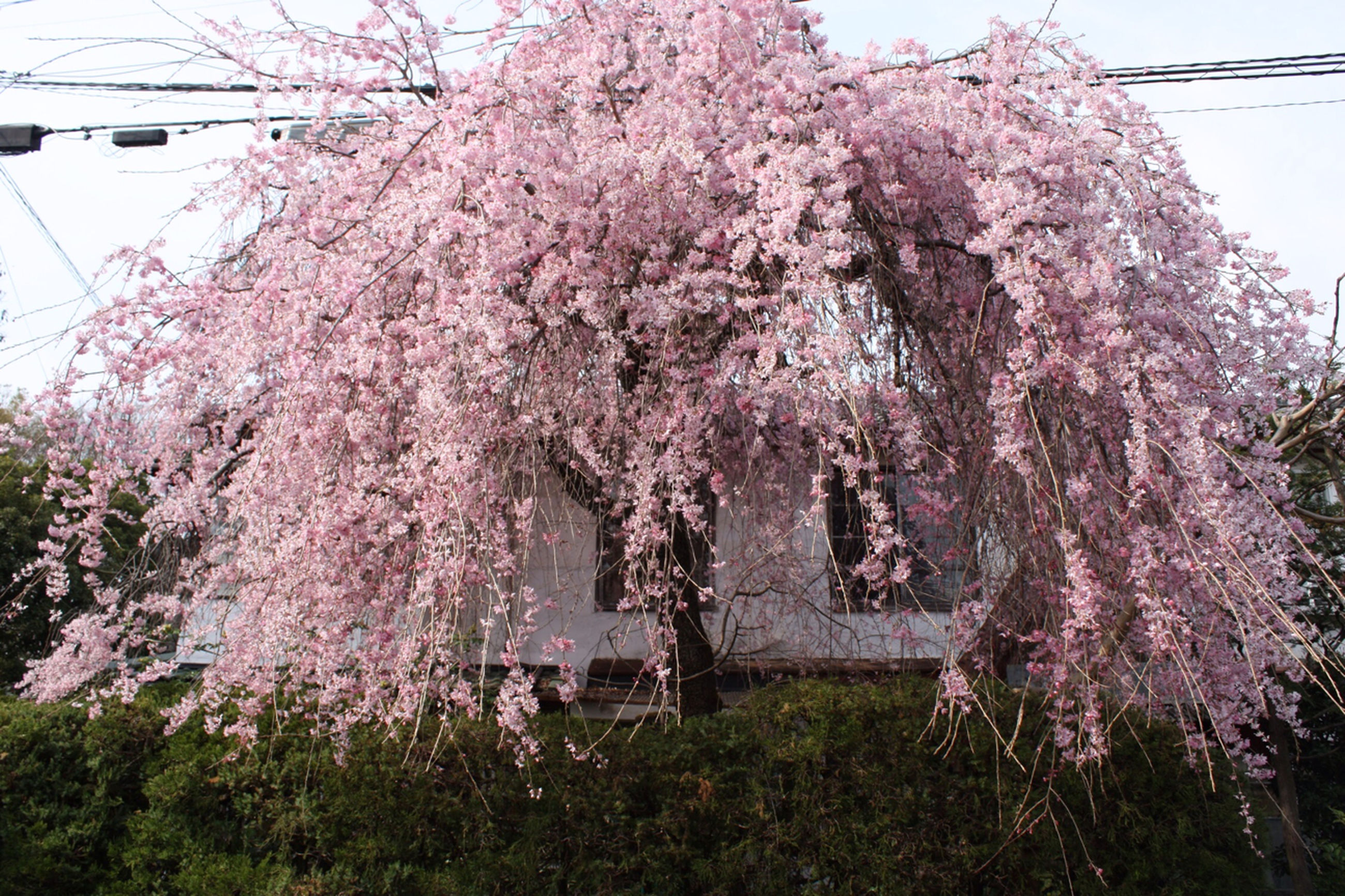 flower, tree, building exterior, growth, freshness, low angle view, branch, architecture, built structure, cherry blossom, fragility, cherry tree, blossom, nature, beauty in nature, in bloom, springtime, blooming, day, outdoors
