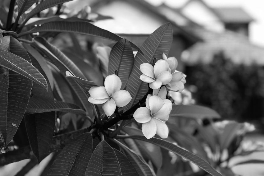 The Frangipani Black And White Monochrome Light And Shadow Flower Focus On Foreground Leaf Outdoors Fragility Beauty In Nature Day Nature Growth Close-up Plant Flower Head Freshness No People