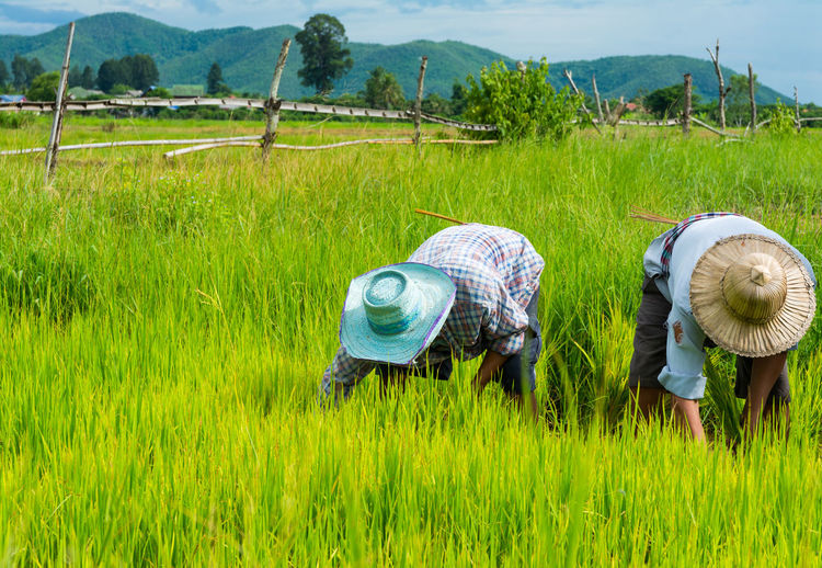 Farmers planting rice in rice field near Chiang Mai, Thailand Bio Chiang Mai Field Green Nature Plant Planting Rice Thailand Workers Agriculture Campaign Farm Farmers Food Grass Green Color Growth Hardwork Mountain Outdoors People Ricefield Rural Scene Scenics