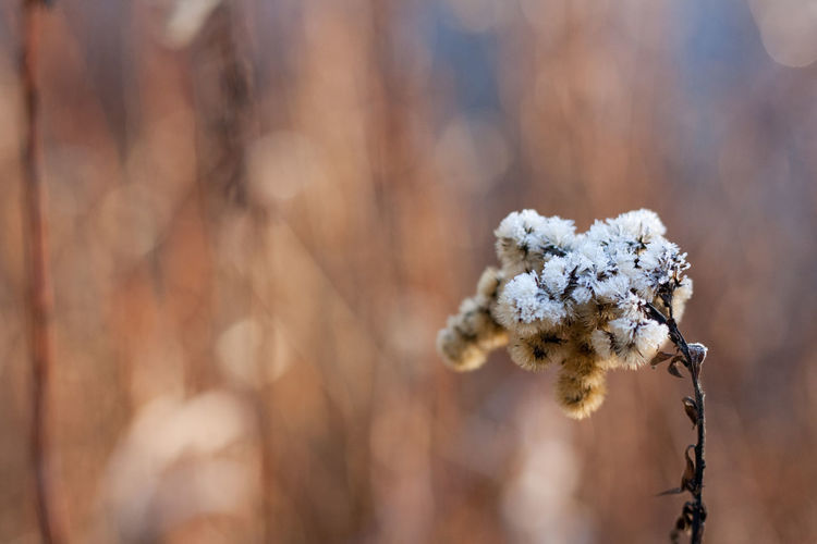 Icy morning Plant Close-up Cold Temperature Nature Winter Focus On Foreground Beauty In Nature Snow Flower Day Fragility Vulnerability  Selective Focus Outdoors Softness Hoarfrost Bokeh Frozen Flowers Frozen Plants Ice Icy Frost Copy Space Backgrounds