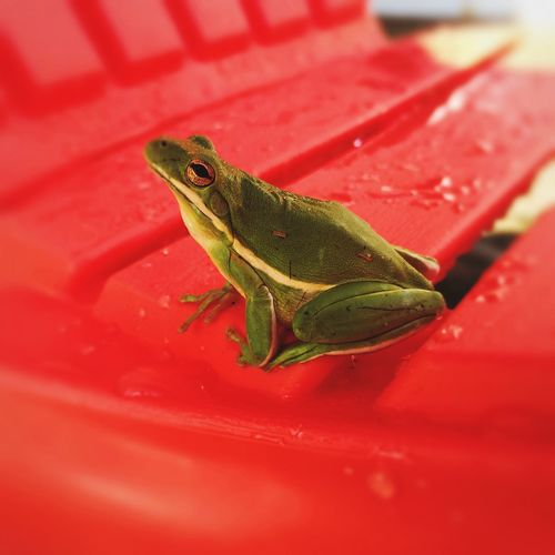 Frog Little Frog Green Frog IPhoneography Nature On Your Doorstep