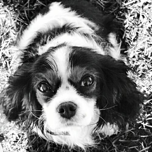 Cavalier King Charles Spaniel Ellybelle Mycavalier Dog Love Dog Enthusie Animal Photography Pet Photography  Still Life California Dreaming Melissaoc Photography