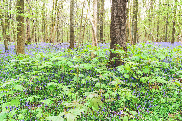 Beauty In Nature Belgium Blooming Bluebell Wood Bluebells Enchanted Forest EyeEm Nature Lover Forest Growth Hallerbos Hyacinth Idyllic Lush Foliage Nature_collection No People Outdoors Showcase April Spring Springtime Tranquil Scene Tranquility Tree Trees Wilderness WoodLand