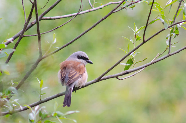 Red-backed shrike Animal Animal Themes Animal Wildlife Animals In The Wild Bird Branch Close-up Day Focus On Foreground Green Color Nature No People One Animal Outdoors Perching Plant Selective Focus Tree Twig Vertebrate