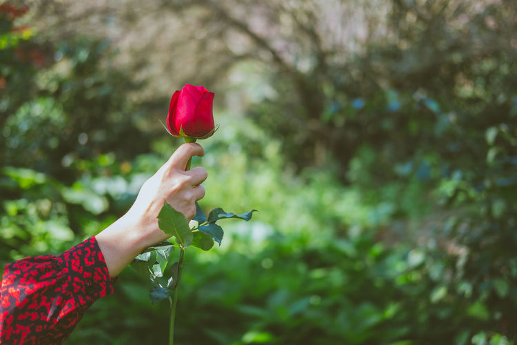 Midsection of person holding red flowering plant