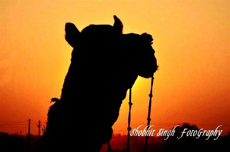 Pushkar Festival, Rajasthan, Sunset , Camel