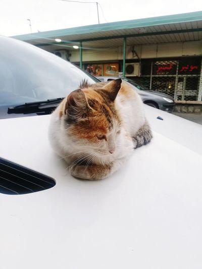 Cat relaxing in car