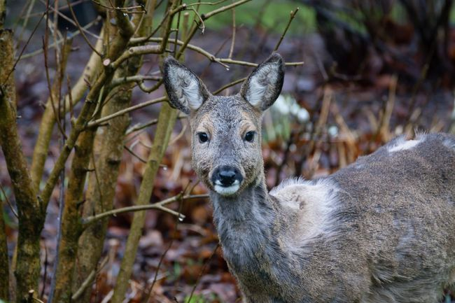 Reh im Fellwechsel Deer Reh One Animal Animal Themes Animals In The Wild Looking At Camera Animal Wildlife Nature Garden Photography Fellwechsel Focus On Foreground Flensburger Förde Wildlife & Nature Animals Flensburg