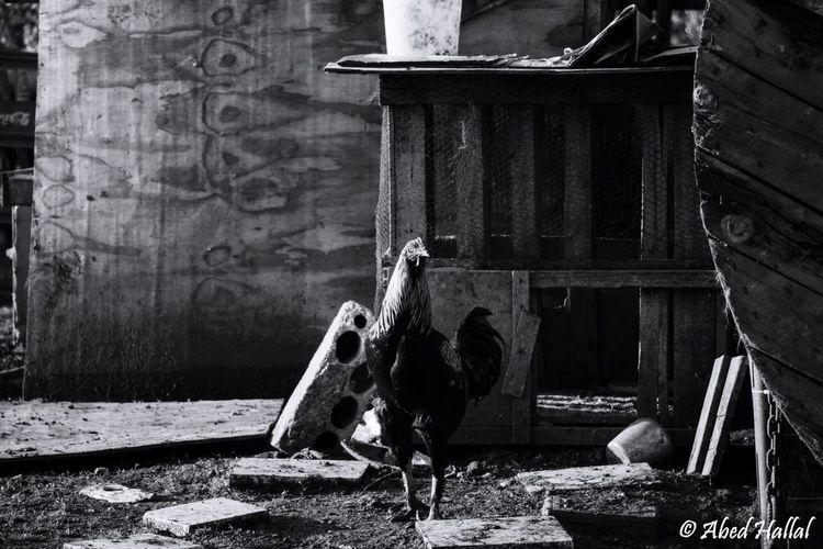 Morning Animals Taking Photos Lebanon Blackandwhite Rooster Wood Lovley