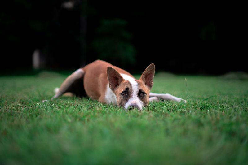 Portrait of dog lying on grassy land
