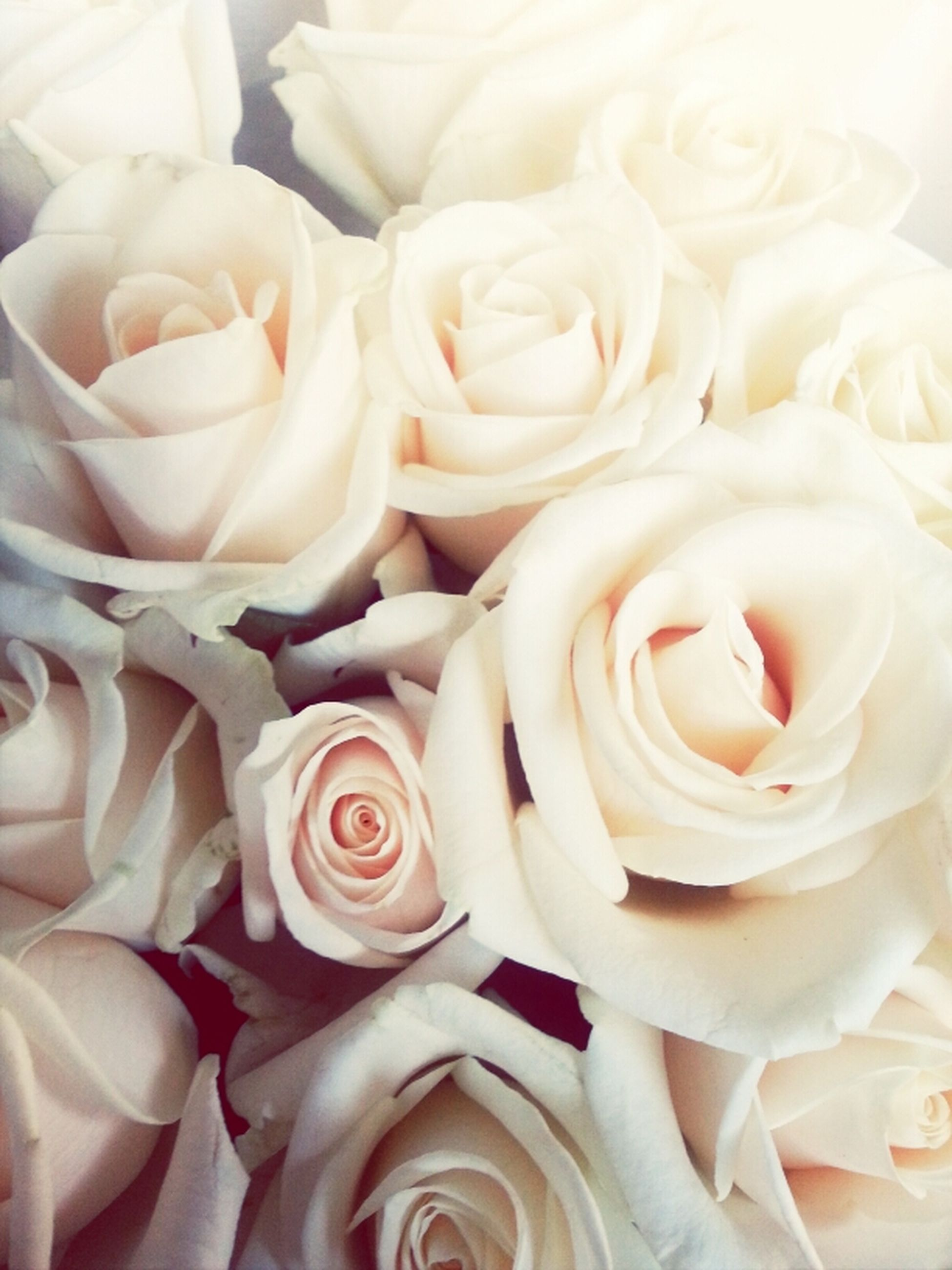 rose - flower, flower, freshness, petal, flower head, fragility, indoors, rose, close-up, full frame, beauty in nature, backgrounds, high angle view, white color, nature, no people, pink color, softness, detail, sweet food