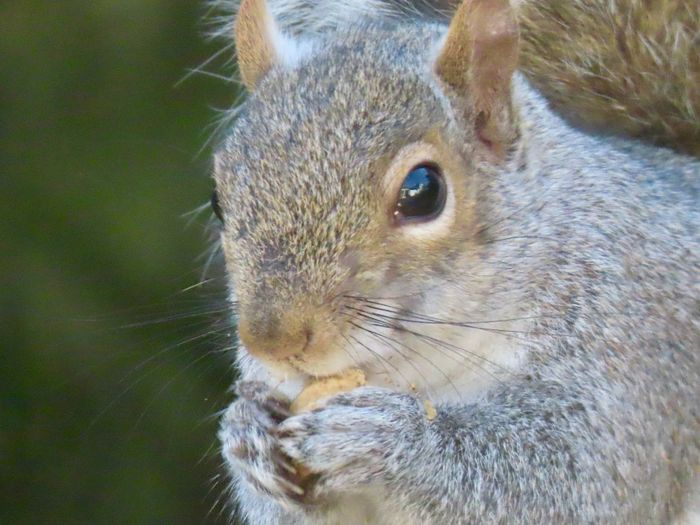 Squirrel eating a peanut closeup animal themes selective focus One Animal Animal Wildlife Rodent No People