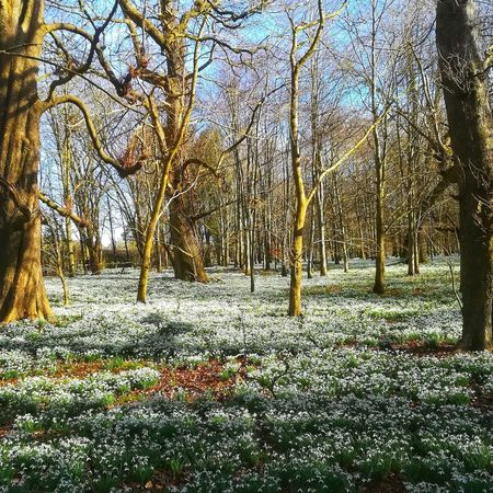 Snowdrop heaven EyeEm Nature Lover EyeEmNewHere Flowers Flower Collection England, UK England🇬🇧 Nature Photography Nature_collection Naturelovers Natur Background Springtime Day Outdoors No People Nature Full Frame Backgrounds Tree Close-up Beauty In Nature Sky