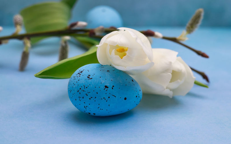 Close-up Flower Freshness Flowering Plant Egg No People Plant Blue Still Life Focus On Foreground Vulnerability  Nature White Color Fragility Beauty In Nature Indoors  Easter Petal Temptation Flower Head Blue Background Tulpe Easter Egg Nature_collection EyeEm Gallery