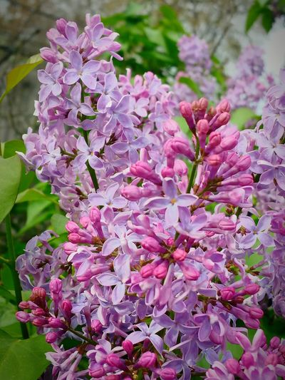 Lilacs Flowers Lavender Purple Nature Photography Spring Into Spring Violet By Motorola