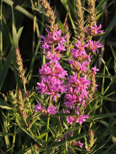 Purple Loosestrife-very invasive Beauty In Nature Botany Close-up Day Flower Flower Head Flowering Plant Focus On Foreground Fragility Freshness Growth Inflorescence Loosestrife Nature No People Outdoors Petal Pink Color Plant Purple Vulnerability