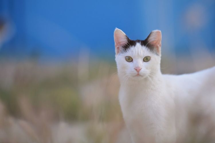 Domestic Pets Domestic Animals Cat Domestic Cat Feline Mammal Portrait One Animal Looking At Camera No People White Color Whisker Animal Eye