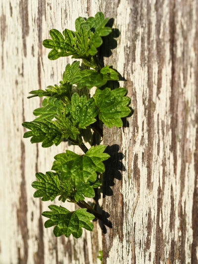 Close-up of green leaves on wooden plank