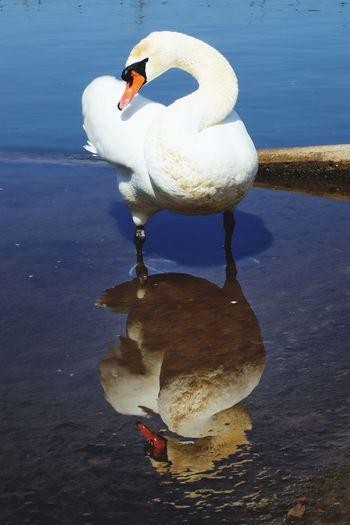 Swan Bird Water