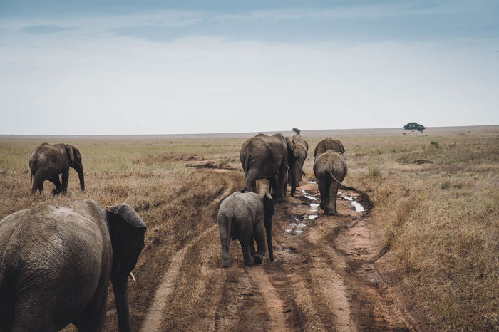 Herd of elephants African Elephant Animal Themes Animal Wildlife Animals In The Wild Campaign CampaignSeason Day DESERT AREA Elefant Elephant Elephants Elephants Child Elephants On The Road Herd Of Elephants Mammal Nature No People On The Road Outdoors Safari Animals Sky STEPPE ZONE Been There.