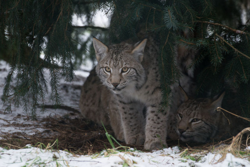 Winter Animal Themes Animal Wildlife Animals In The Wild Day Domestic Cat Feline Hive Looking At Camera Luchs Mammal Nature No People One Animal Outdoors Portrait Snow Tree
