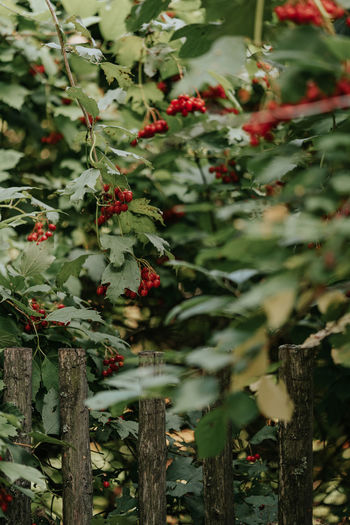 Red berries of viburnum on a tree branch near the fence Beauty In Nature Berry Fruit Close-up Day Food Food And Drink Freshness Fruit Green Color Growth Healthy Eating Leaf Nature No People Outdoors Plant Plant Part Red Ripe Rowanberry Selective Focus Tree