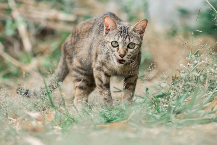 Alertness Animal Themes Day Domestic Animals Domestic Cat Feline Grass Looking At Camera Mammal Nature No People One Animal Outdoors Pets Portrait