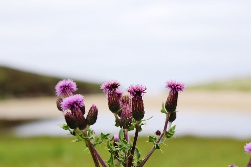 Scotland EyeEm Selects Flowering Plant Flower Plant Fragility Vulnerability  Freshness Focus On Foreground Growth Close-up Beauty In Nature Nature Sky Pink Color Flower Head No People Day Thistle Purple