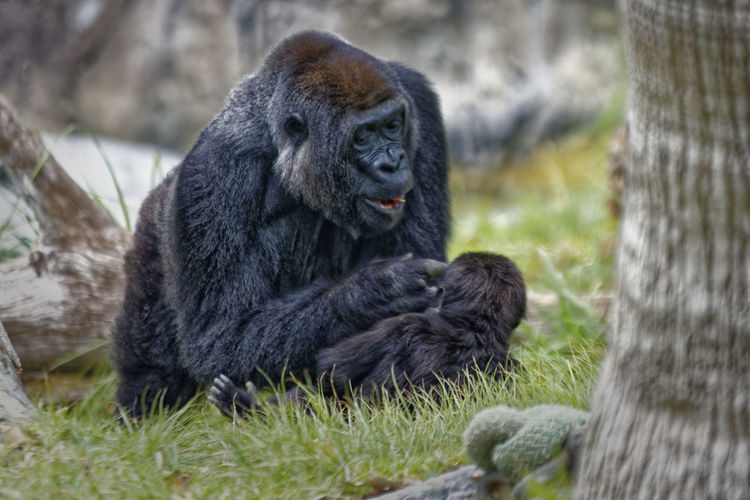 Gorilla sitting on ground and looking to her baby Hominidae Ape Baby Congo Grass Motherhood Rwanda Tree Zoo Africa Animal Themes Animal Wildlife Animals In The Wild Close-up Day Fur Gorilla Grass Mammal Monkey Motherhood In Nature Nature No People Outdoors Wildlife