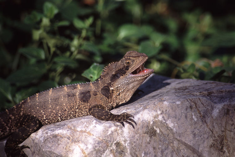Close-up of lizard with mouth open on rock
