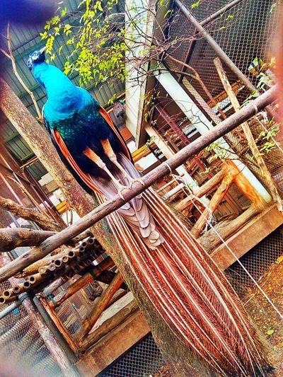 Peacock Bird Bird Photography Animal Photography Peacock Photo Bird In The Zoo Animal In The Zoo Peacock In The Zoo One Bird Animal Bird One Animal Peacock