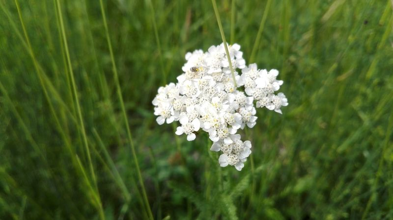 Flowers Flower White Color White Hello World White Flower Relaxing Nature_collection Nuture No Filters Or Effects Nature Textures Popular Photos Ear Grass Nature Widflowers Insect