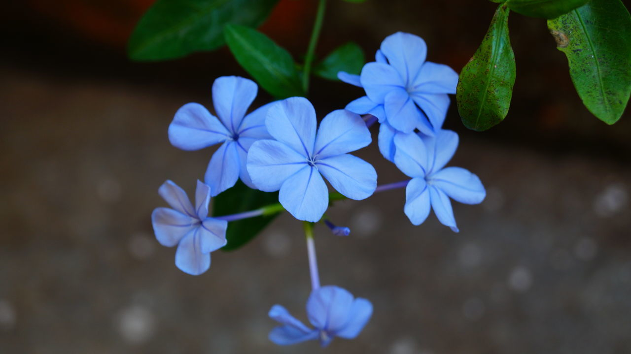 flower, fragility, beauty in nature, petal, growth, plant, nature, freshness, focus on foreground, flower head, purple, blue, no people, outdoors, blooming, day, close-up, periwinkle, petunia