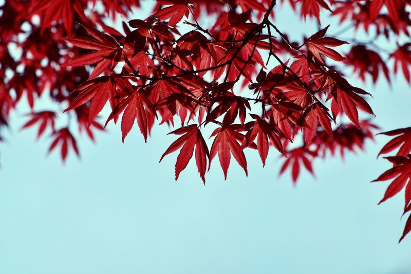 Tree Branch Plant Leaf Plant Part Low Angle View Beauty In Nature Maple Tree Outdoors Nature Sky Red Maple Leaf No People Change Close-up Growth Day Tranquility