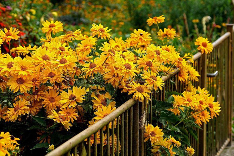 Flowers Yellow Flower Yellow Flowers Yellow Flowers,Plants & Garden Fence Garden Garden Photography Open Edit AMPt_community Tadaa Community Showcase August The Nature Photographer - 2016 Eyeem Awards Eye4photography  Flower