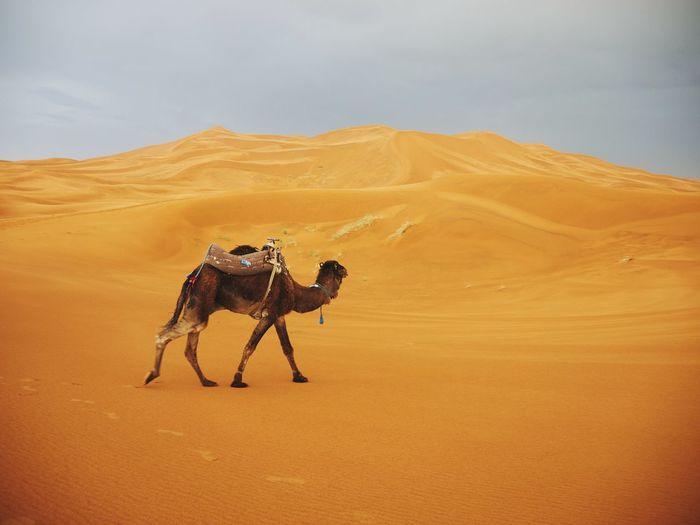 Desert Camel Orange Morocco