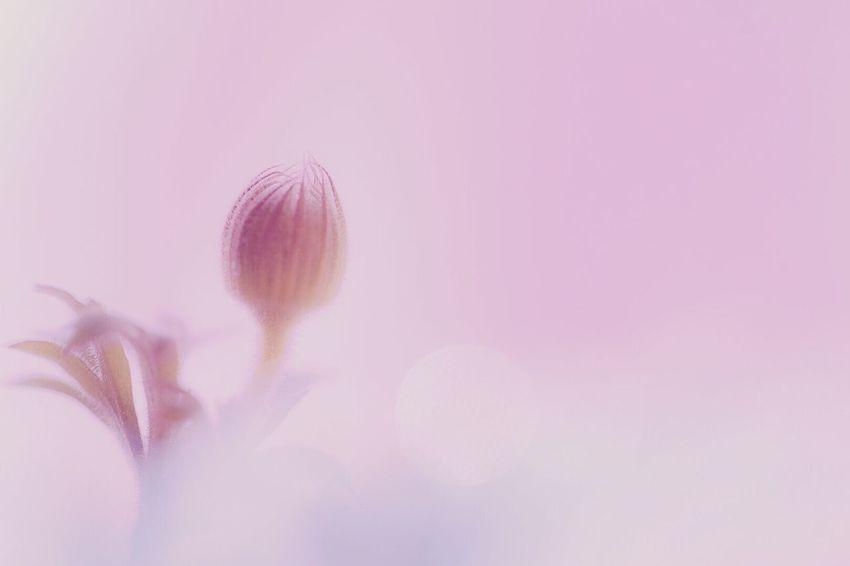 目覚め Flower Nature Fragility Beauty In Nature Pink Color Close-up Petal Studio Shot Growth Flower Head Freshness Springtime No People Plant Backgrounds Day Macro