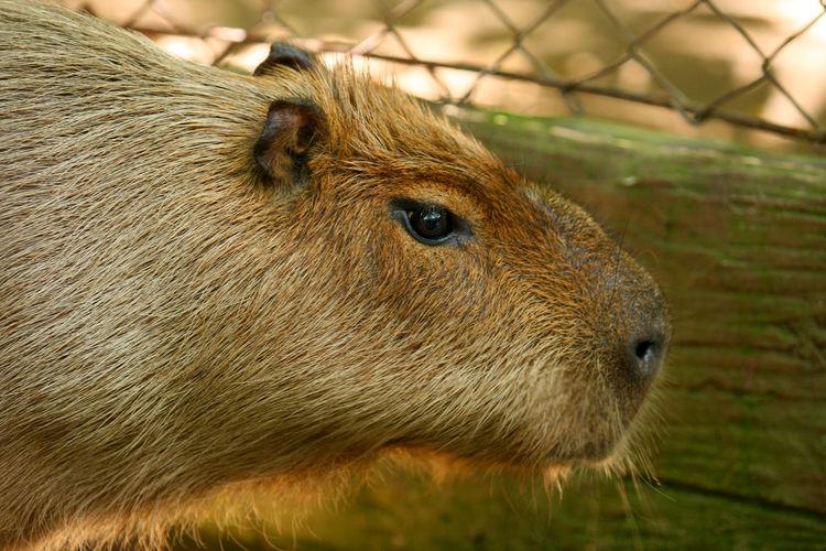 Close-up of capybara at zoo