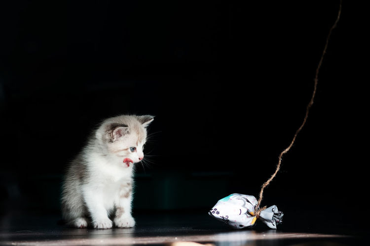 White little luminous kitten sadly looks longingly at a toy on a thread on a black background