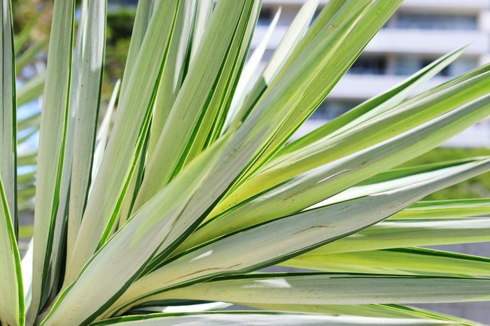 Long Leaves Growth Green Color Plant Beauty In Nature Close-up No People Nature Pattern Sunlight Palm Tree Plant Part Natural Pattern Outdoors Backgrounds Palm Leaf Leaf Botany Focus On Foreground Day Freshness