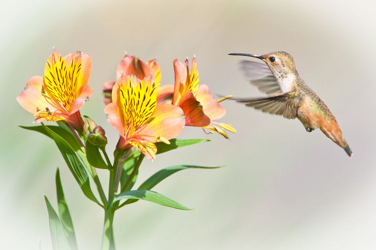 Close-up of hummingbird and yellow flower