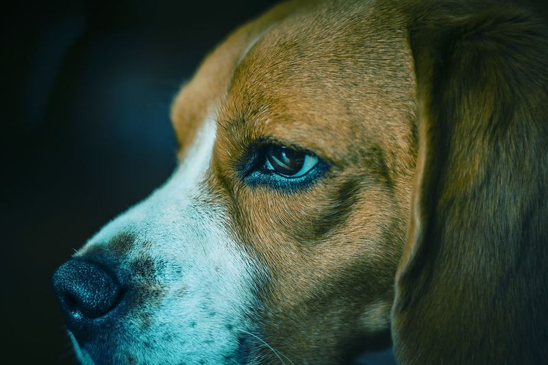 the look Beagle Colorpallet Colorpallete Pet AnimalTheme Pose Cute Mammal Looking Domesticanimals Canine Indoors  Friendforever Resting Rest Concentration Réflexion Modeldog  Model Light And Shadow Contrast Composition 50mm Colors Pets Black Background Dog Portrait Close-up