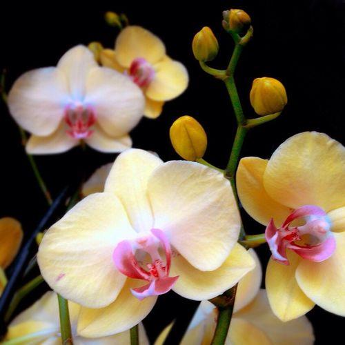 Flowers Orchids Phalaenopsis Fuller's Sunset