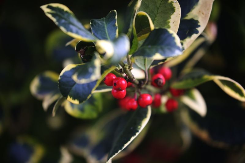 Golden King. The lack of spiky leaves makes this beautiful holly a gardeners delight. Holly Fruit Healthy Eating Plant Berry Fruit Growth Close-up Food Plant Part Freshness Leaf Day Nature Selective Focus Focus On Foreground Red Tree Beauty In Nature
