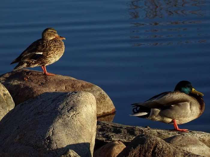 Waters Edge EyeEm Best Edits Eyemphotography EyeEm Best Shots From Mypointofview Check This Out Mallard Duck Pair Sunning By The Water