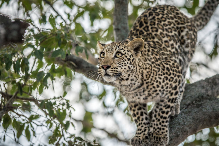 Portrait of a leopard on a tree