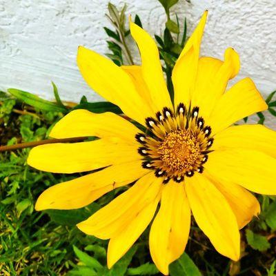 Flor amarilla Fotografia Mipasion TomadaConElCelular