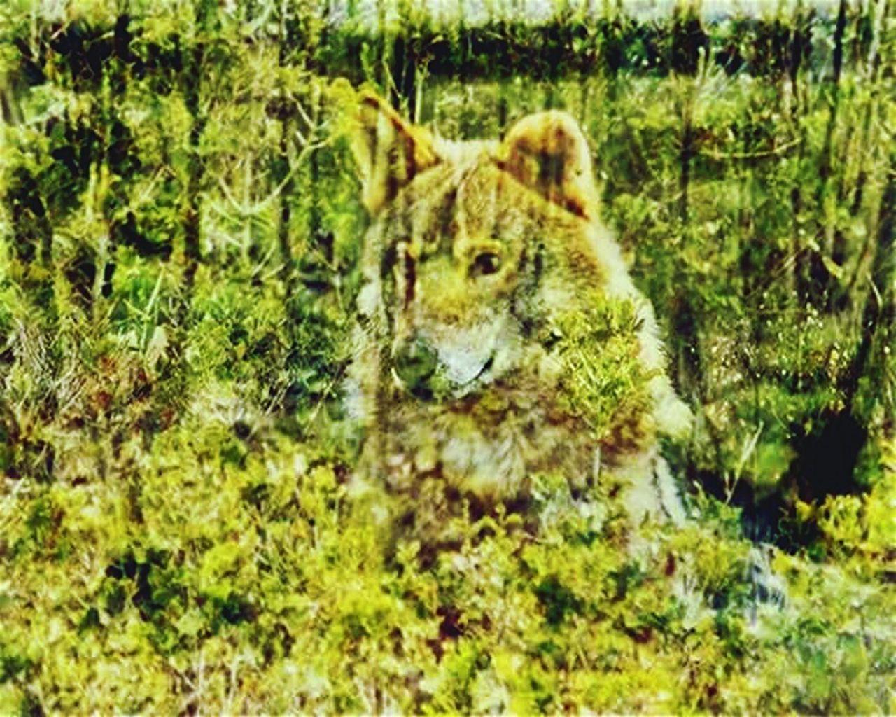 one animal, animals in the wild, animal themes, no people, day, animal wildlife, lion - feline, nature, mammal, safari animals, feline, lioness, outdoors, grass, leopard, close-up, cheetah