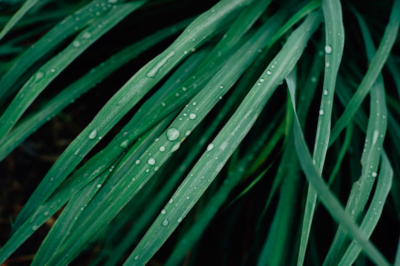 Green Color Growth Drop Plant Leaf Wet Plant Part Water Close-up Blade Of Grass Nature Beauty In Nature No People Freshness Dew Grass Day Selective Focus Rain Outdoors RainDrop Rainy Season Purity Palm Leaf