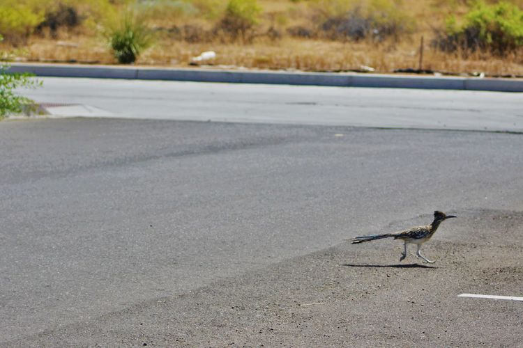 Adapted To The City Albuquerque Birds Nature New Mexico Parking Lot Pavement Roadrunner Southwest  Wildlife